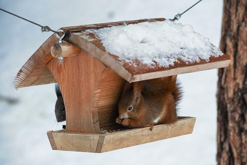 リス「Eurasian red sqirrel at a birdhouse」:スマホ壁紙(0)