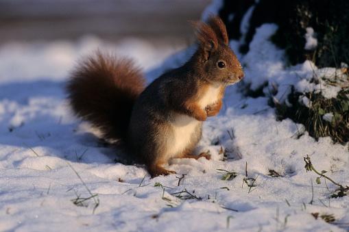 Squirrel「Eurasian Red Squirrel in Snow」:スマホ壁紙(18)
