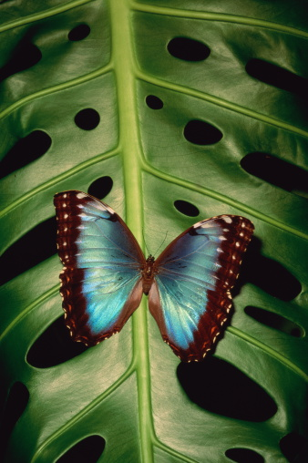 Morpho Butterfly「Common morpho butterfly (Morpho peleides) leaf, Costa Rica」:スマホ壁紙(19)