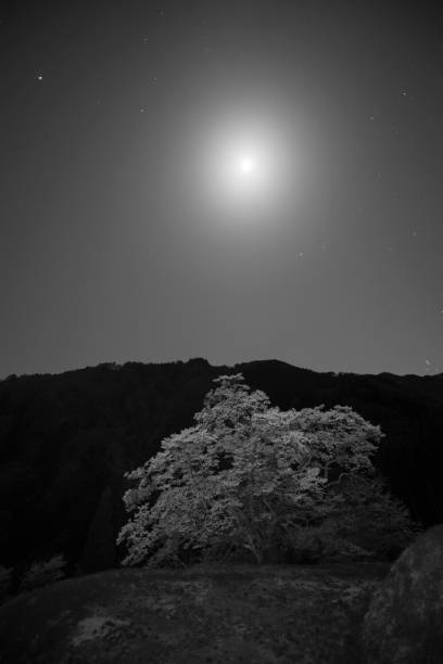 The moon and a cherry tree:スマホ壁紙(壁紙.com)