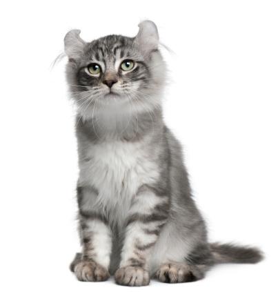 Kitten「American Curl Kitten」:スマホ壁紙(6)