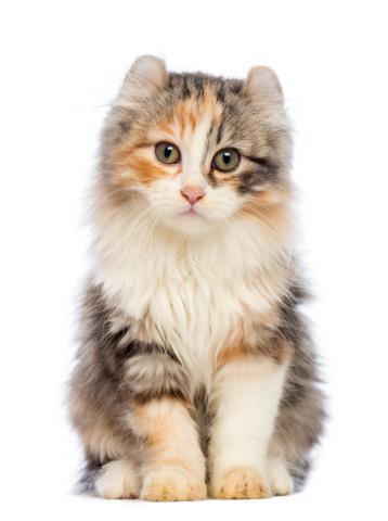 Kitten「American Curl kitten sitting」:スマホ壁紙(5)