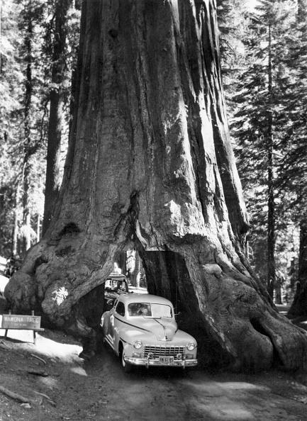 Sequoia Tree「Redwood Road」:写真・画像(19)[壁紙.com]