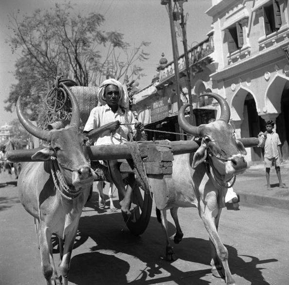 Ox Cart「Mysore Oxen」:写真・画像(9)[壁紙.com]
