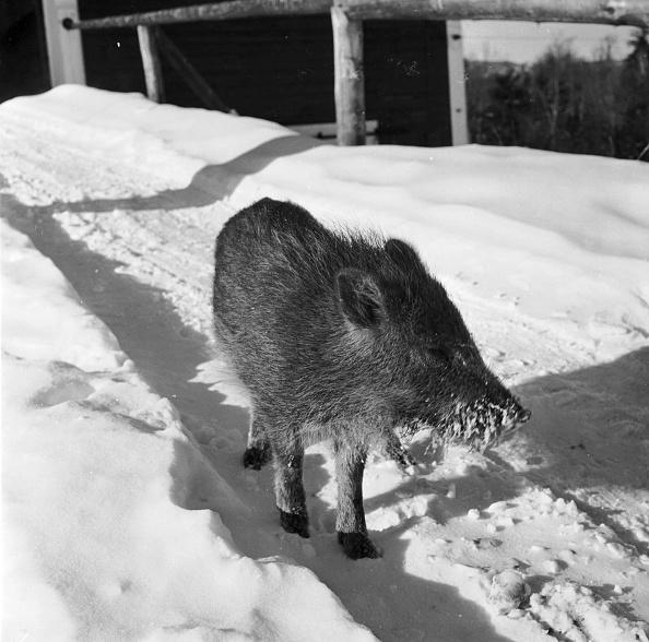 Wild Boar「Cold Ham」:写真・画像(13)[壁紙.com]