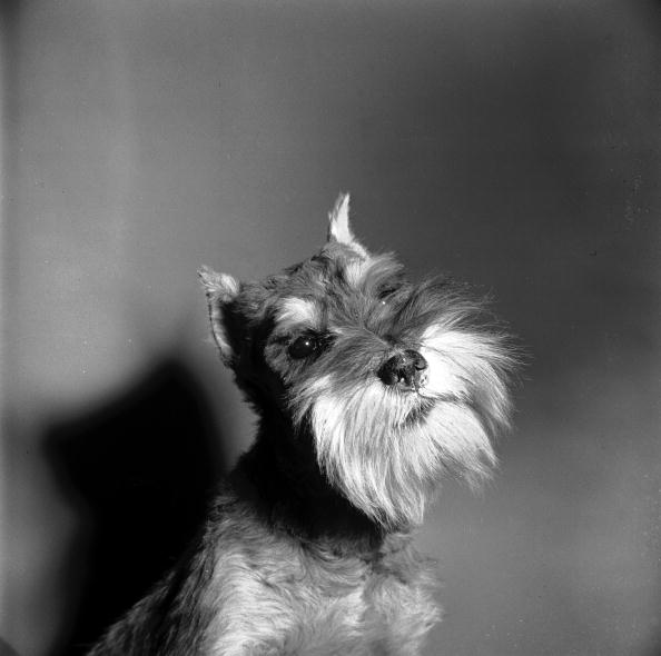 Animal Whisker「Schnauzer Dog」:写真・画像(2)[壁紙.com]