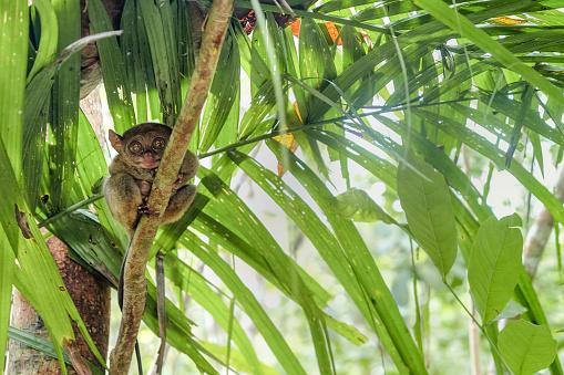 Animal Ear「Philippine tarsier - world smallest primate」:スマホ壁紙(1)