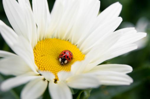 Ladybug「daisy and ladybug」:スマホ壁紙(3)