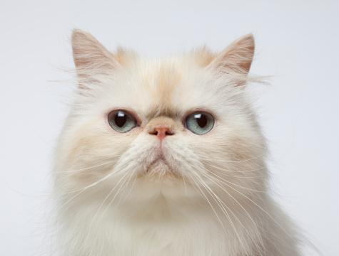 ペルシャネコ「Close-up Portrait of Persian Cat」:スマホ壁紙(13)
