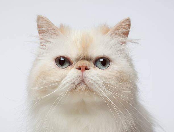 Close-up Portrait of Persian Cat:スマホ壁紙(壁紙.com)