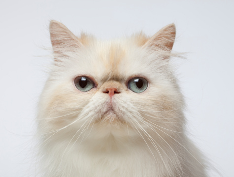 Cat「Close-up Portrait of Persian Cat」:スマホ壁紙(18)