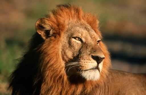 Animal Mane「Close-up Portrait of a Male Lion (Panthera leo)」:スマホ壁紙(15)