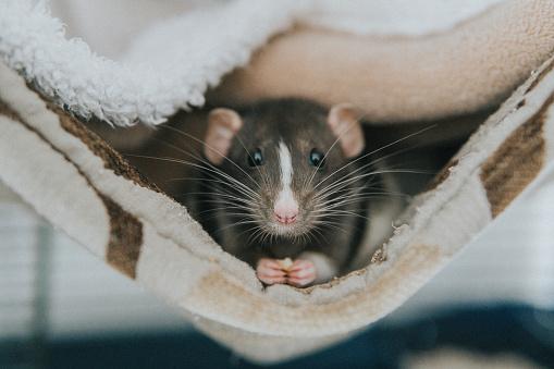 Rat「Close-up portrait of a rat in a blanket」:スマホ壁紙(16)