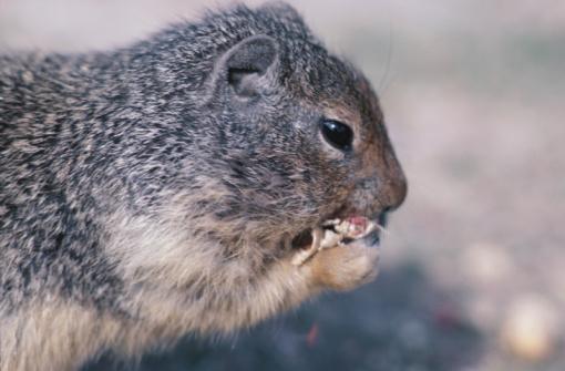 Gray Squirrel「Close-up portrait of gray squirrel」:スマホ壁紙(7)