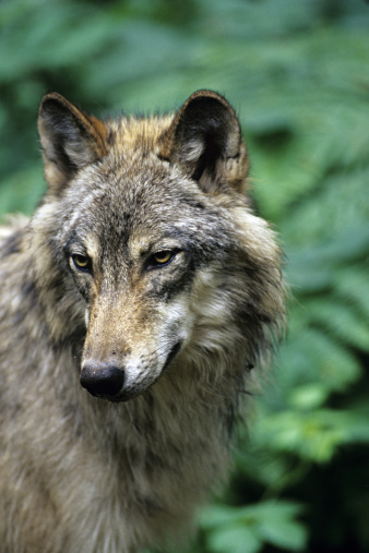 Gray Wolf「Closeup portrait of Gray Wolf, Canis lupus, Northwest Trek Wildlife Park, Washington, USA」:スマホ壁紙(16)