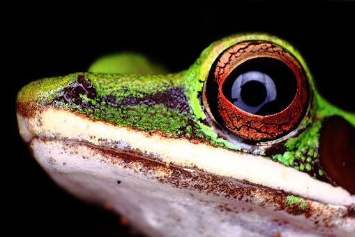 Amazon Rainforest「Close-up portrait of White-lipped tree Frog, Amazon rainforest」:スマホ壁紙(16)