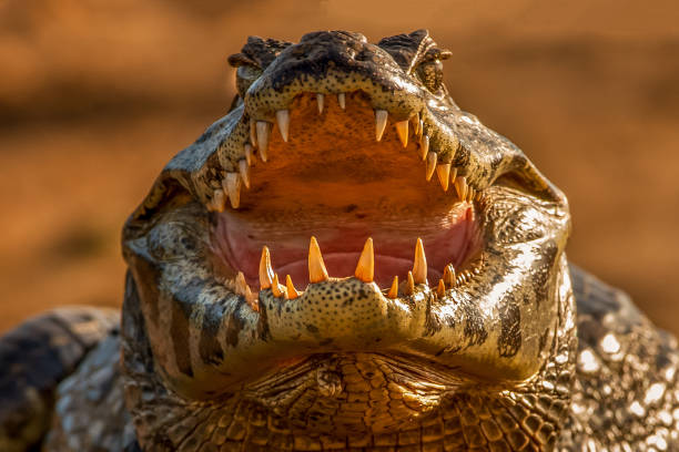 A close-up portrait of yacare caiman (caiman yacare) on riverbank of cuiaba river Pantanal:スマホ壁紙(壁紙.com)