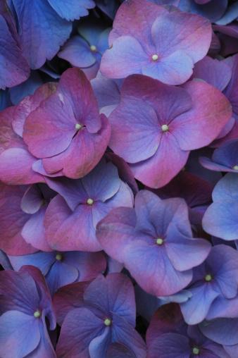 あじさい「アジザイ cultivar の花」:スマホ壁紙(2)