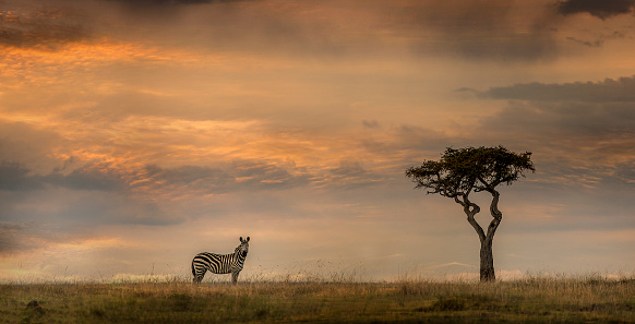 Curiosity「Lonely zebra and acacia tree at sunset」:スマホ壁紙(7)