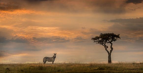 Zebra「Lonely zebra and acacia tree at sunset」:スマホ壁紙(12)
