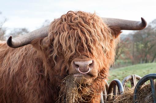 Furious「Hungry Highland Cow」:スマホ壁紙(18)