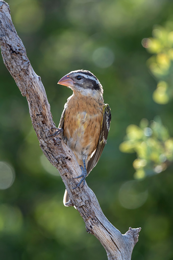 Beak「Female Black-headed Grosbeak, Huachuca Mountains, Arizona」:スマホ壁紙(15)