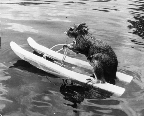 リス「Water-Skiing Squirrel」:写真・画像(16)[壁紙.com]