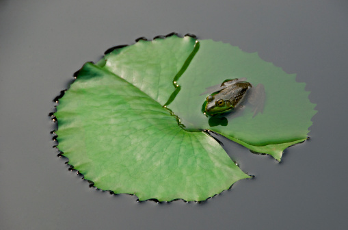 Water Lily「Frog on lily pad」:スマホ壁紙(13)
