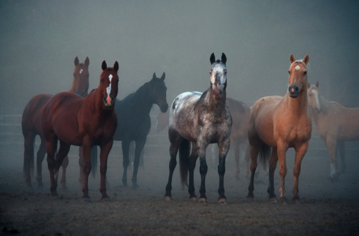 Animals In The Wild「Horses, Ears Pointing Forward, Animal, Equestrian, Morning, Foggy, Outdoors」:スマホ壁紙(17)