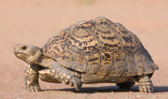 Full Length「Tortoise walking in sand」:スマホ壁紙(2)