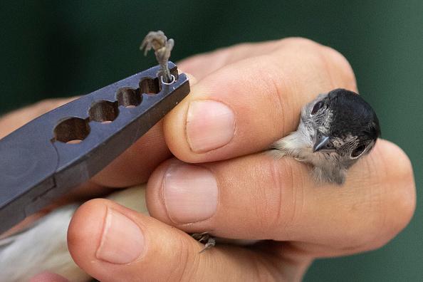 Bestpix「Birds Are Ringed At Start Of Autumn Migration」:写真・画像(12)[壁紙.com]