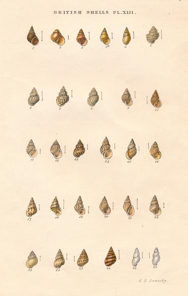 Sea Life「British Shells」:写真・画像(6)[壁紙.com]