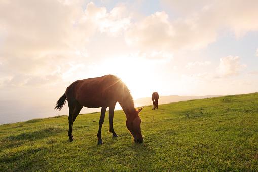 草地「Misaki ponies grazing at sunset, Cape Toi, Miyazaki Prefecture, Japan」:スマホ壁紙(7)