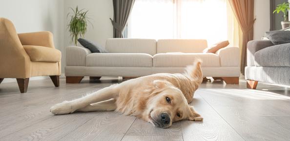 Comfortable「Bored golden retriever resting on the living room.」:スマホ壁紙(18)