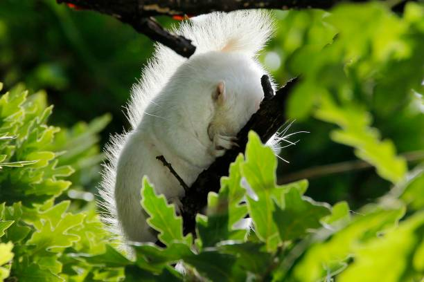 A true albino squirrel photographed sleeping in a tree in Companies Garden in Cape Town, Western Cape Province, South Africa.:スマホ壁紙(壁紙.com)