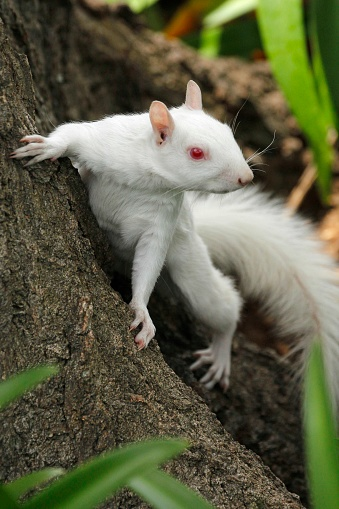 Gray Squirrel「A true albino squirrel photographed climbing a tree in Companies Garden in Cape Town, Western Cape Province, South Africa.」:スマホ壁紙(16)