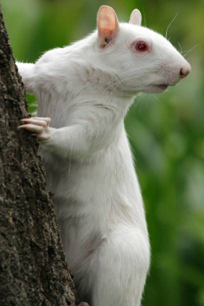 A true albino squirrel photographed climbing a tree in Companies Garden in Cape Town, Western Cape Province, South Africa.:スマホ壁紙(壁紙.com)