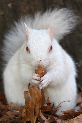 Gray Squirrel「A true albino squirrel photographed eating a nut in Companies Garden in Cape Town, Western Cape Province, South Africa.」:スマホ壁紙(19)