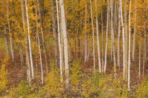 Grove「USA, Alaska, Denali National Park, American aspen grove」:スマホ壁紙(9)