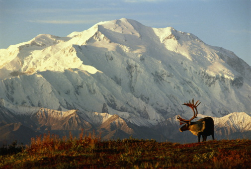 Tundra「USA, Alaska, Denali National Park, caribou in front of Mt.McKinley」:スマホ壁紙(13)
