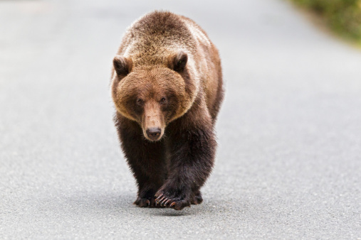Walking「USA, Alaska, Brown bear walking on road near Chikoot Lake」:スマホ壁紙(10)