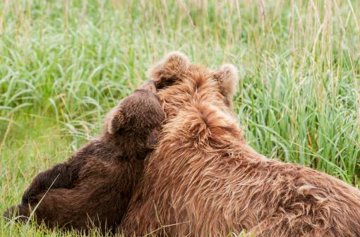 Bear Cub「Alaska brown bear」:スマホ壁紙(16)
