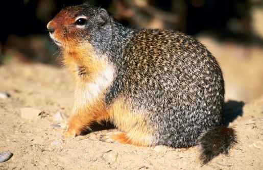 Yoho National Park「Columbian ground squirrel (Spermophilus columbianus).」:スマホ壁紙(9)