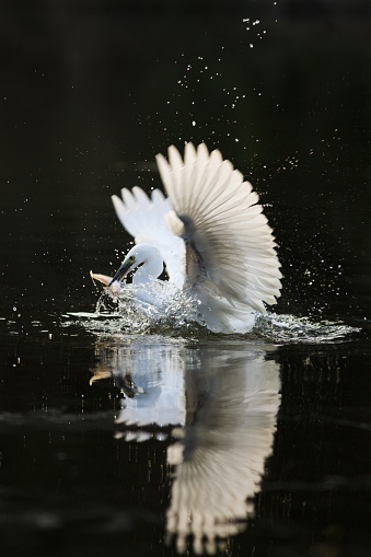 Animals Hunting「Egret」:スマホ壁紙(0)