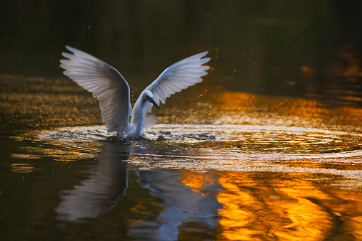 Animals Hunting「Egret」:スマホ壁紙(10)