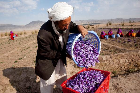 花畑「Saffron Harvested in Herat」:写真・画像(16)[壁紙.com]