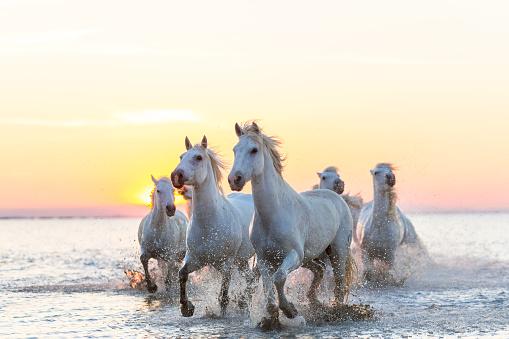 Horse「Camargue white horses running in water at sunset」:スマホ壁紙(6)