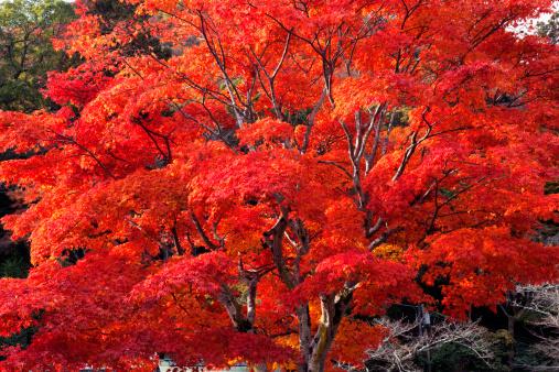 秋+京都「Red Autumnal Tree」:スマホ壁紙(14)