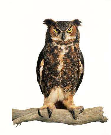 Animal Wing「Owl」:スマホ壁紙(2)