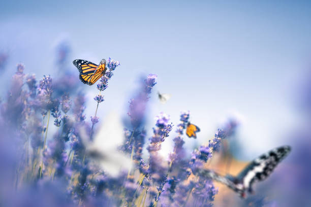 Lavender Field With Butterflies:スマホ壁紙(壁紙.com)